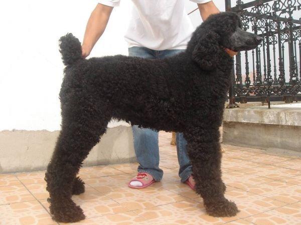 巨型贵宾犬